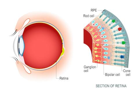 Medical illustration of the retina